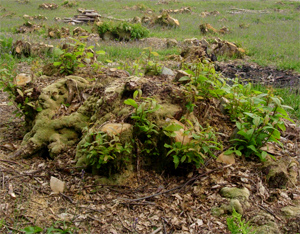 A coppiced stool showing some regrowth