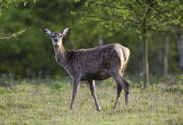 An increase in the population of deer has meant a greater amount of browsing. This affects the biodiversity of woodlands since younger trees and shrubs are not given a chance to thrive. Woodlands lacking in diversity provide fewer habitats for invertebrates, a valuable food source for birds.