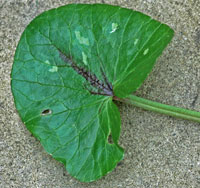 leaf of Ficaria verna
