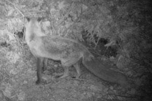 Mature fox