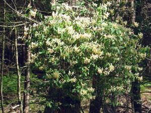 honeysuckle in hedgerow