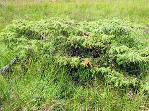 low lying juniper