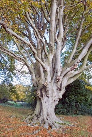 Beech | Woodlands.co.uk