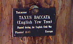 name plate on yew tree