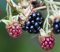 Bramble Fruit<
