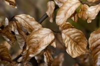 Marcescent Beech Leaves<