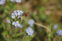 Bee and Forget-Me-Not