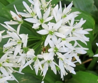 Wild Garlic Flowers<