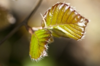 Young Beech Leaves