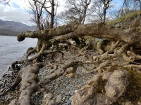 Lake erosion exposing tree roots