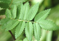 Mountain Ash leaf