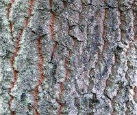 Turkey Oak bark