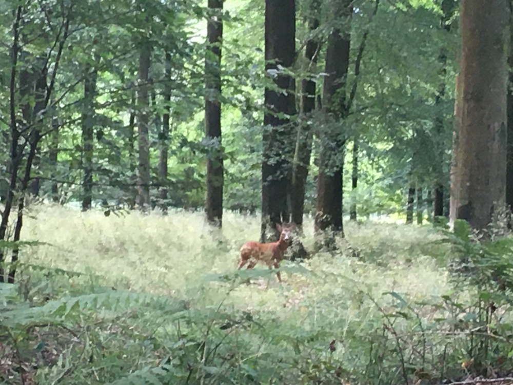 Roe deer are regular visitors