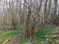Evidence of former coppice