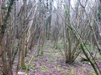 An area of coppice