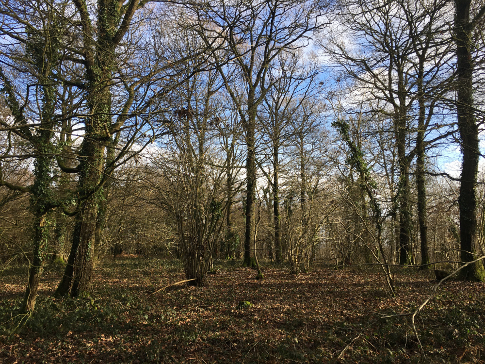 Giant oak dominates