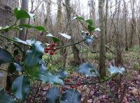 Festive holly berries