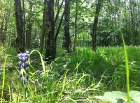 Bluebell in a clearing