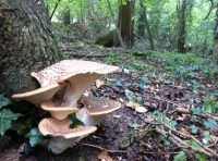 Blooming bracket fungus