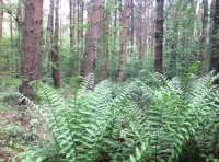 A thriving cluster of ancient ferns