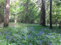 A bluebell glade