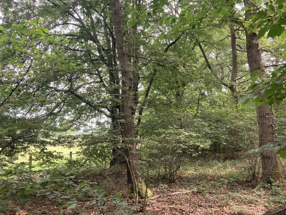 An impressive oak