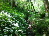 Wild garlic cling to the banks