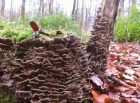 Fruiting 'Turkey Tail' fungus