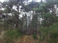 Scots pine on elevated ground