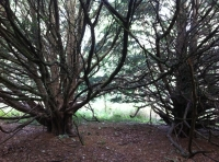 Gnarled Yew branches