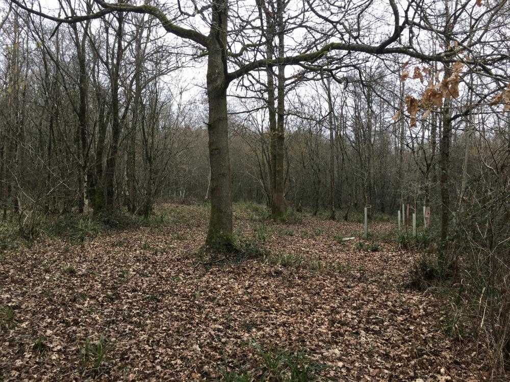 Expansive oak