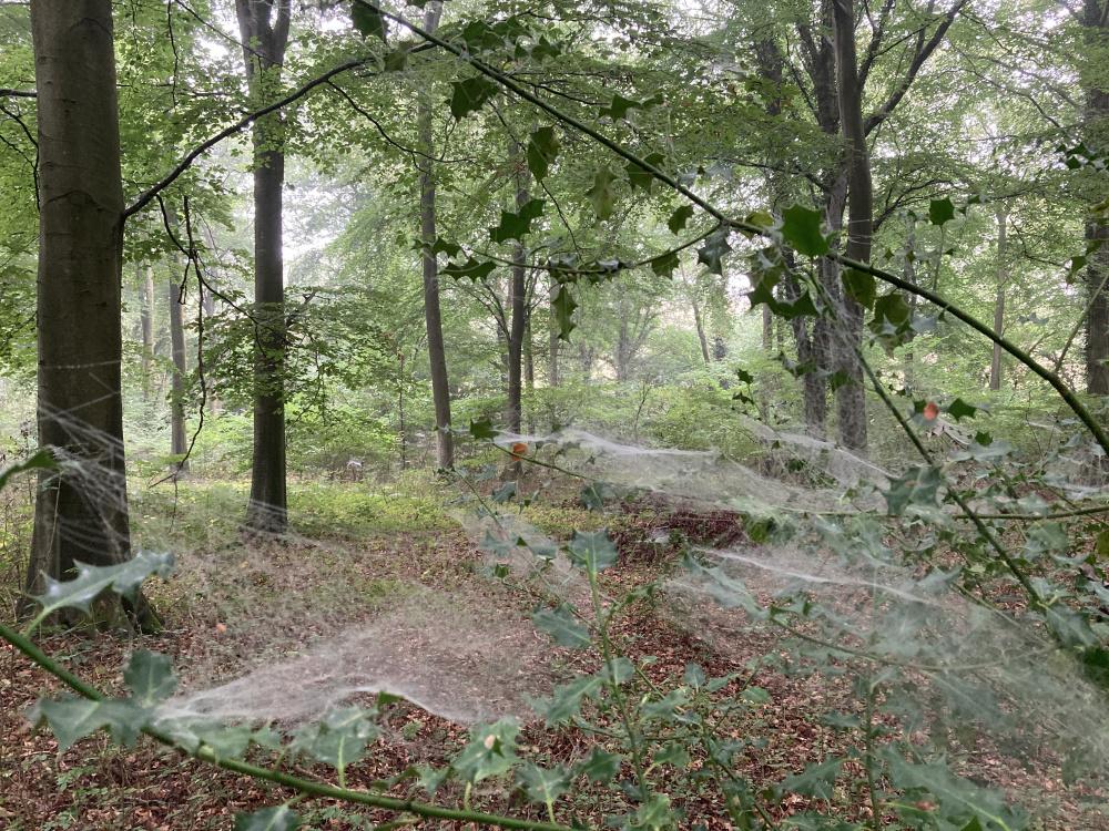 Dew in cobwebs at dawn