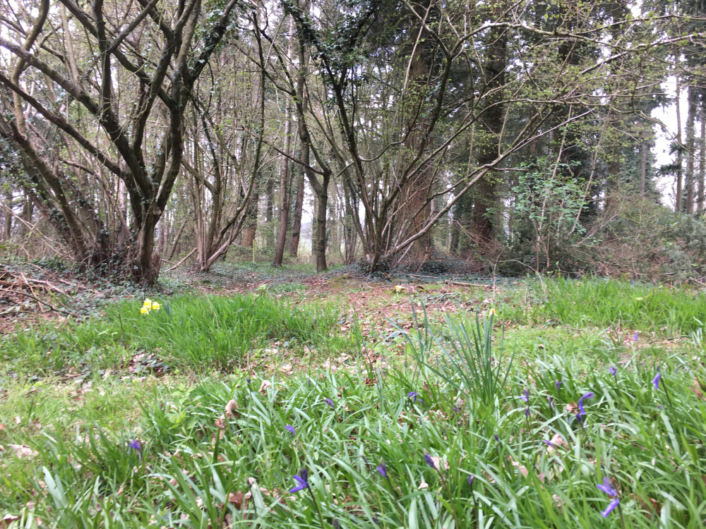 Bluebells in a clearing