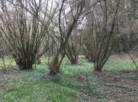 Old coppice stools