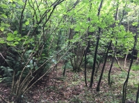 An area of hazel coppice