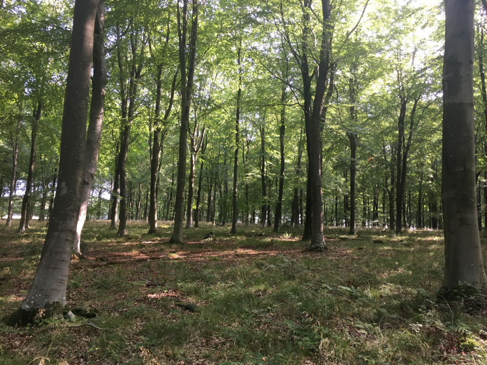 The beauty of the beech wood