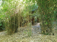 An area of bamboo