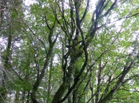 beech among conifers