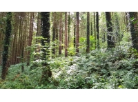 A healthy understory of broadleaved trees growing