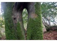 beech with keyhole