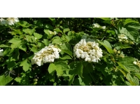 Guelder rose in flower