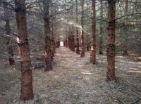 Path leading into the heart of the conifer trees