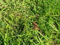 A toad in the open glade area