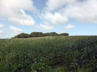 maize in adjoining field