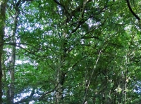 mature beech trees near north-west boundary