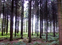 well-spaced conifers
