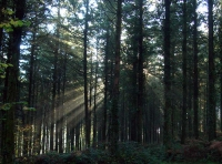 sun's rays behind conifers