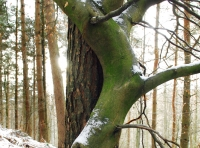 A Scots pine and a beech tree grow together