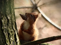 Red Squirrel in Carey Wood- Picture by Paul Basindale of the Red Squirrel group