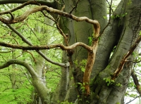 Ancient beech tree boundary